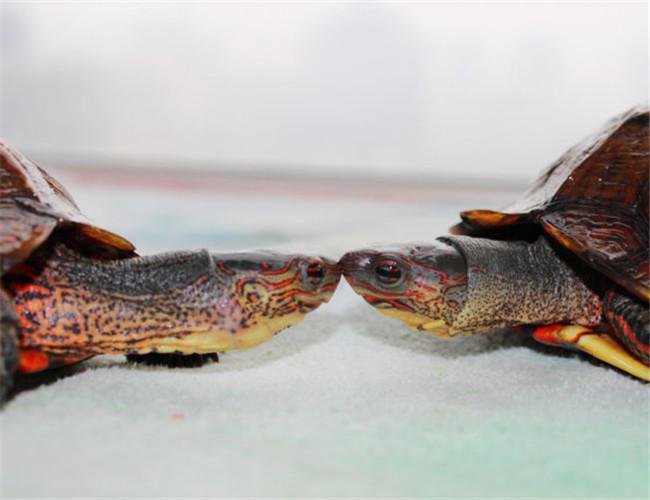 洪都拉斯木纹龟