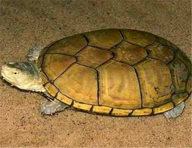 黄泥龟(详情介绍) 黄泥龟又称黄泽龟、黄泥蛋龟,是蛋龟里常见的品种之一。背甲黄色,甲片较大、扁平,甲片与甲片间有着黑色的边,看上去颜色非常好看。黄泥龟是半水栖龟,但是更喜欢呆在水里,喜欢吃一些肉类食物,食性单一。 中文学名:黄泥龟 别名:黄泥蛋龟 英文名:Yellow Mud Turtle 二名法:Kinosternon fiavescens 界:动物界 门:脊索动物门 亚门:脊椎动物亚门 纲:爬行纲 目:龟鳖目 科:龟科 种:黄泥龟 地理分布:内布拉斯加州北部向南到德克萨斯州,新墨西哥亚洲的东部和南部