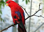 红色吸蜜鹦鹉