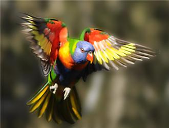 彩虹吸蜜鹦鹉