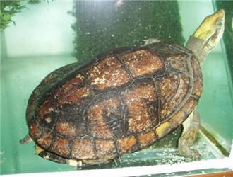 潘氏闭壳龟
