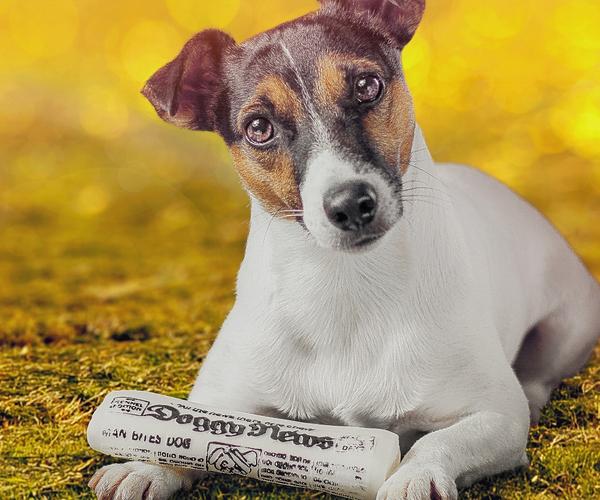 杰克罗素梗图片_杰克罗素梗价格_图片_纯种杰克罗素梗幼犬多少钱一只_杰克罗素 ...