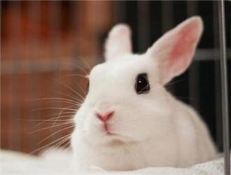 大型海棠兔又称荷达特兔,小型海棠兔又称熊猫兔,都是宠物兔品种,但是