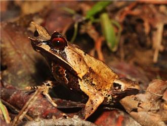三角枯葉蛙