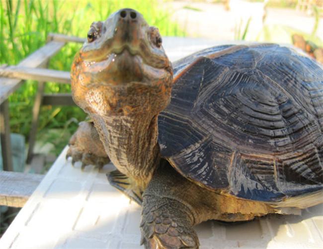 亚洲情龟_亚洲巨龟相册