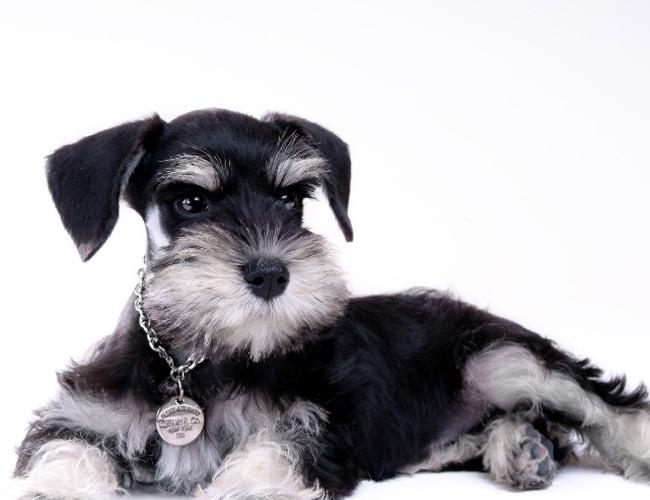 迷你雪纳瑞(详情介绍)   迷你雪纳瑞的成年犬的理想身高30-35cm,体重4-7kg。公犬比母犬稍微大一点,体高与体长应差不多一样,呈正方形,身体结实,骨量充足,不应有任何玩具的倾向。   外形特征   迷你雪纳瑞(Miniature Schnauzer) 迷你雪纳瑞的标准(AKC)   迷你雪纳瑞的外表是非常的有特色,他们是结实、健壮,并且方方正正的(身体的长度和脚至肩膀的高度是相同的)。迷你雪纳瑞具有长胡须、眉毛,腿上也羽状的毛,耳朵有时也会修成挺直状,呈V字型,耳根位置高,向前折下,及很短的尾