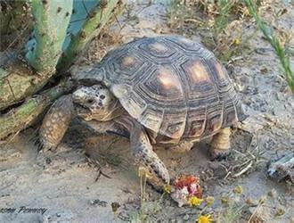 德州地鼠龟