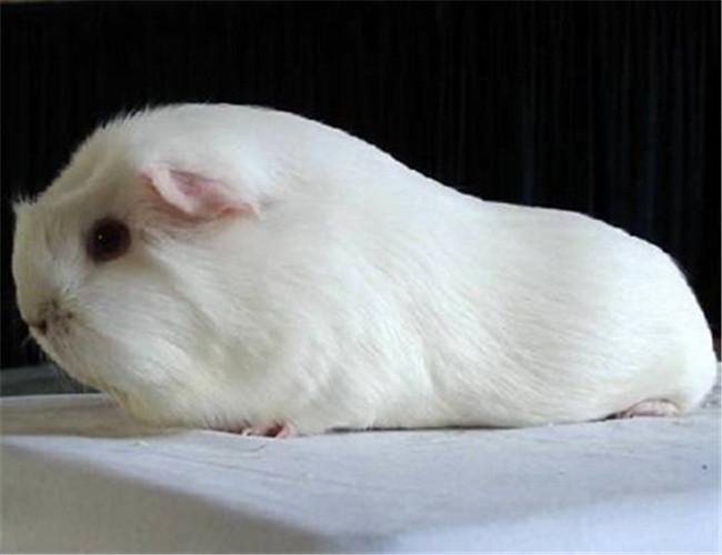 白色鳳冠天竺鼠