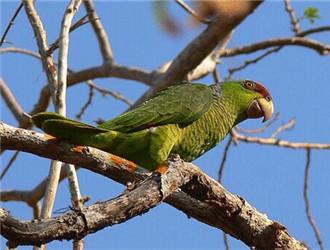 紫冠亚马逊鹦鹉