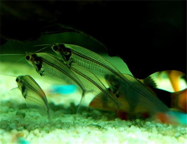 中文学名:玻璃猫鱼    界:动物界    纲:鱼纲   英文名:glass
