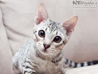 索马里猫为什么难饲养图片