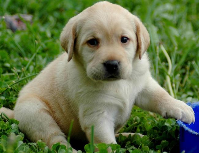 拉布拉多寻回犬照片_拉布拉多寻回犬活泼程度_拉布拉多寻回犬
