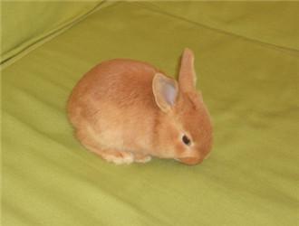 柏鲁美路兔