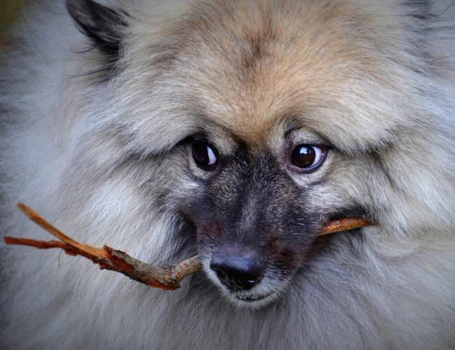 荷兰毛狮犬