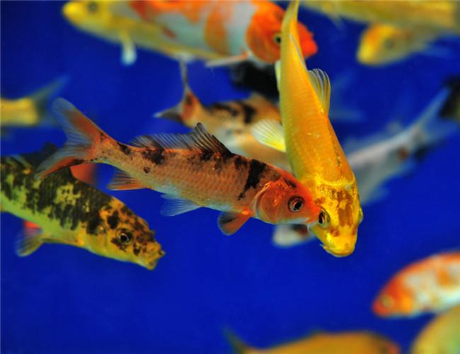 2 词条相册 查看全部2张图片 3 观赏鱼结核病的病因分析   观赏鱼