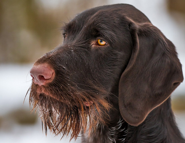 小猎犬多少钱一只_德国刚毛指示犬价格_图片_纯种德国刚毛指示犬幼犬多少钱一只 ...
