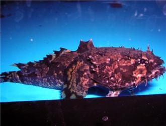 三棘狮子鱼