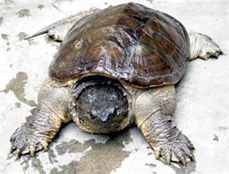 南美拟鳄龟