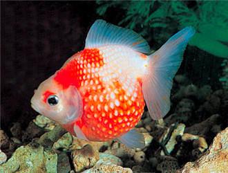 紅白珍珠鱗