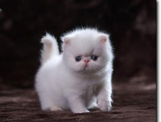 喜馬拉雅貓