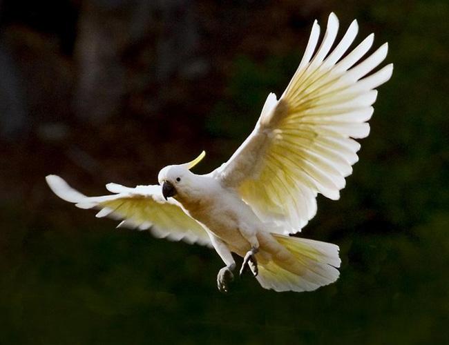 小葵花凤头鹦鹉