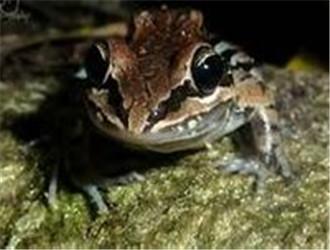 白吻长趾蛙