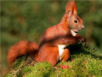欧洲红松鼠