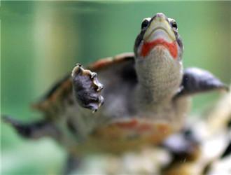 红腹短颈龟