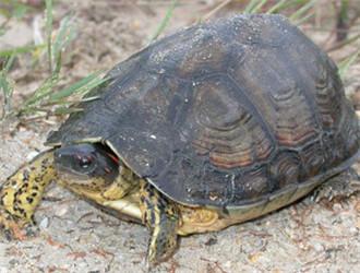 犁沟木纹龟