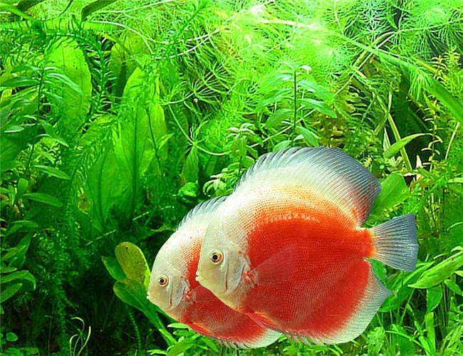 一,症状   鱼的一只或两只眼睛变成有云雾覆盖状并且呈现发白色的