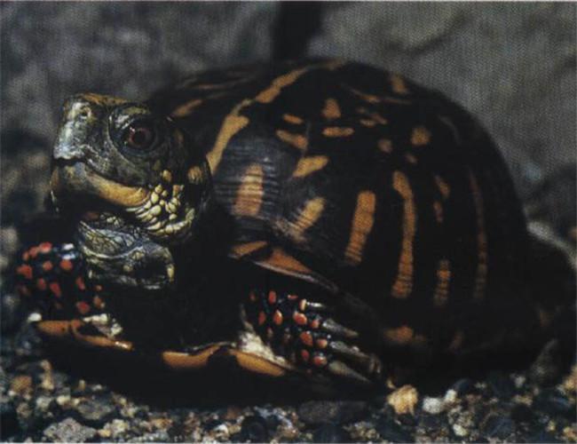 北部锦箱龟