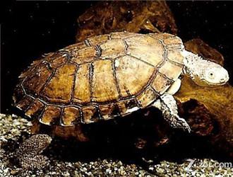 刺股蛇颈龟