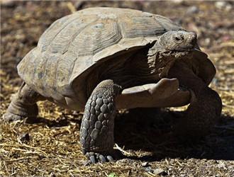 沙漠地鼠龟