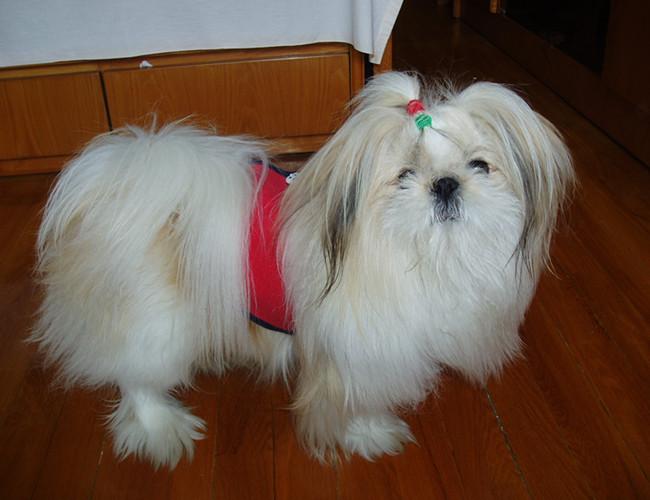 西施犬好养吗_中国沙皮犬好养吗_柯基犬好养吗