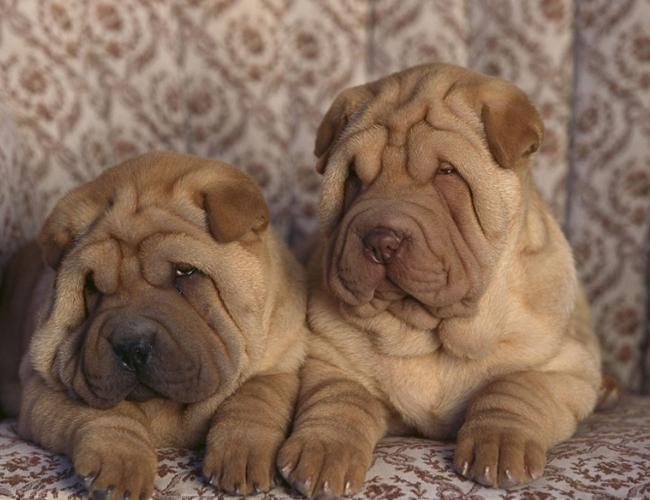 沙皮狗一般多少钱_沙皮犬,沙皮犬价格、沙皮犬多少钱一只、沙皮犬好养吗_波奇宠物 ...