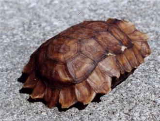 非洲折背陆龟