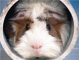 阿比尼西亚天竺鼠