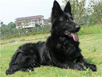 比利时格罗安达牧羊犬