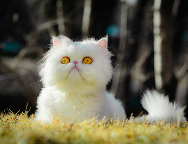 喜马拉雅猫