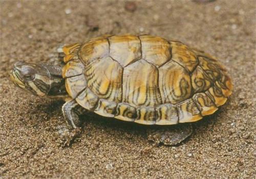 黄肚红耳龟