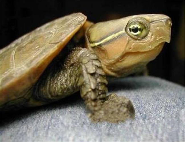 鹰嘴龟,鹰嘴龟价格、鹰嘴龟多少钱一只、鹰嘴龟好养 ...