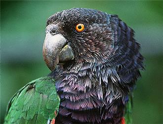 帝王亚马逊鹦鹉