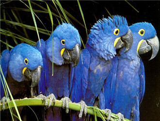 紫藍金剛鸚鵡