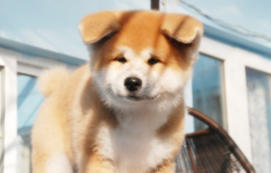大型犬品种_秋田犬,秋田犬价格、秋田犬多少钱一只、秋田犬好养吗_波奇宠物 ...