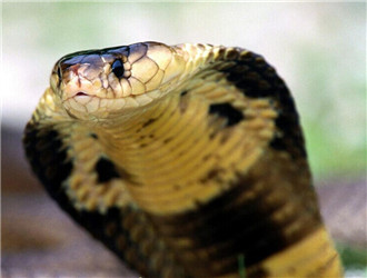 泰国眼镜蛇
