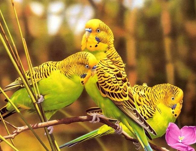 虎皮兰图片鹦鹉