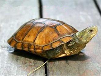 黃喉擬水龜
