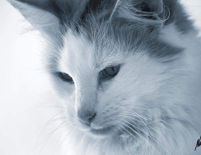 重点色短毛猫和暹罗猫区别图片