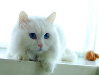 山東獅子貓