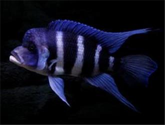 短鼻六间鱼